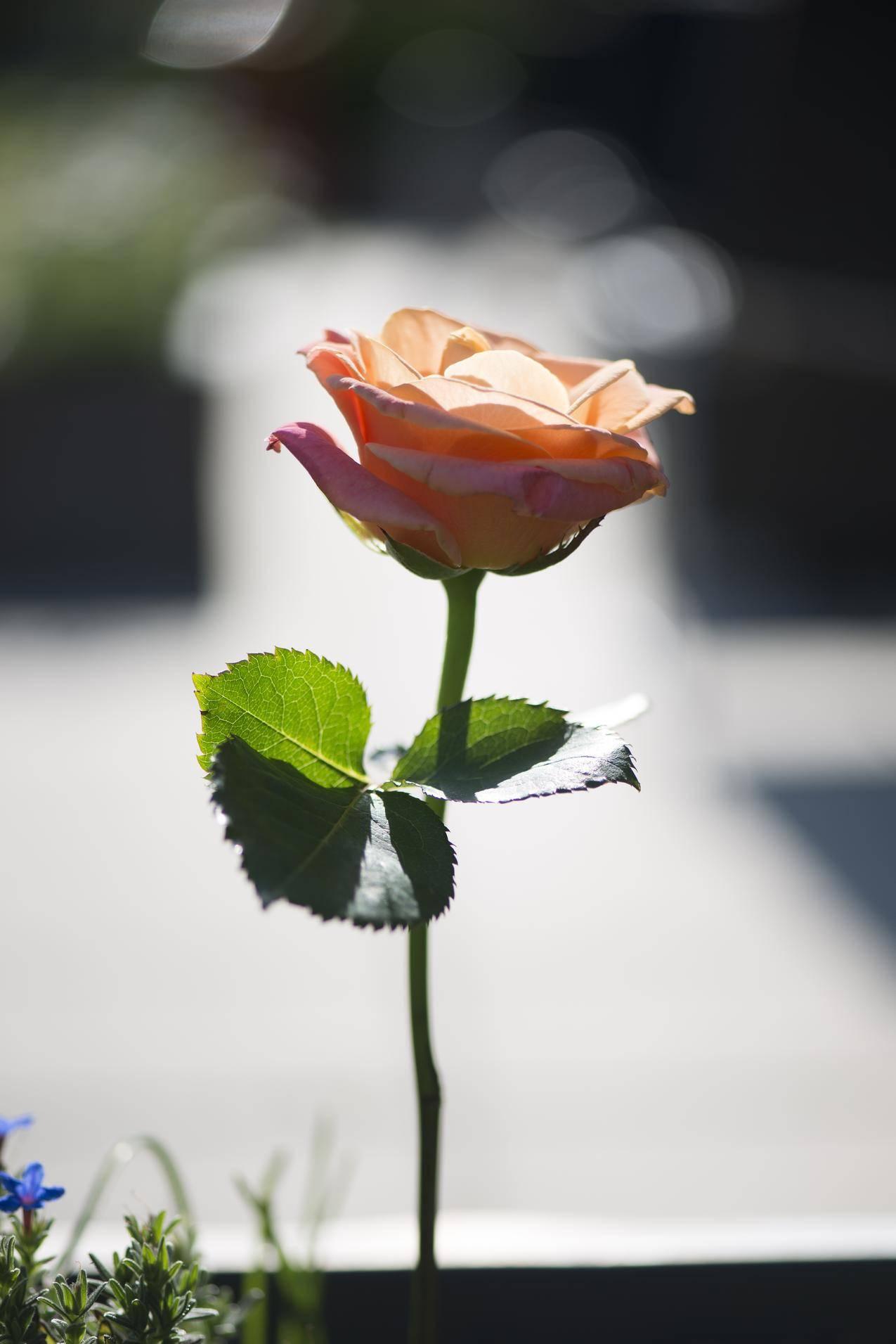 一朵玫瑰花4k图片