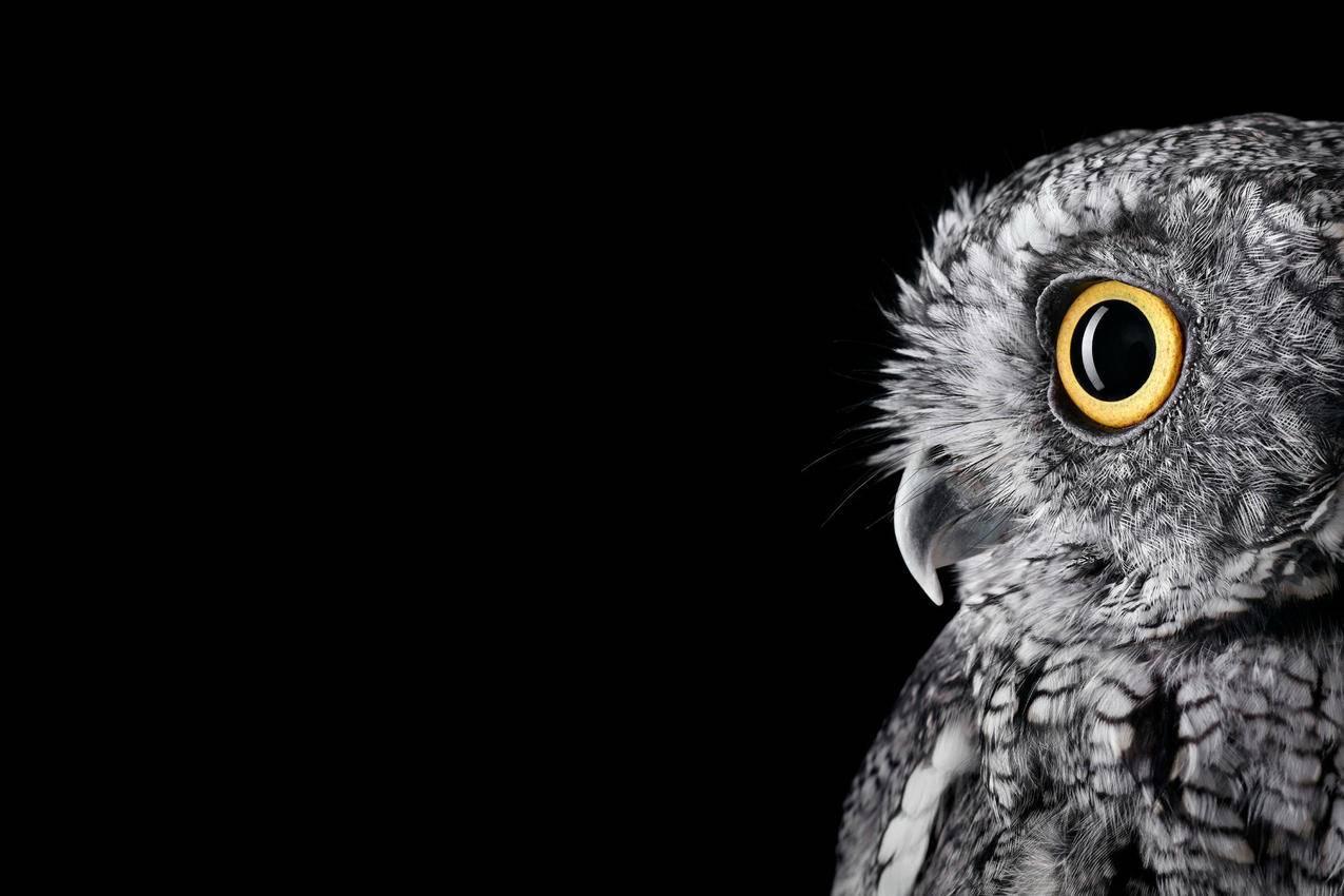 微软Surface,Studio默认海报猫头鹰4K壁纸