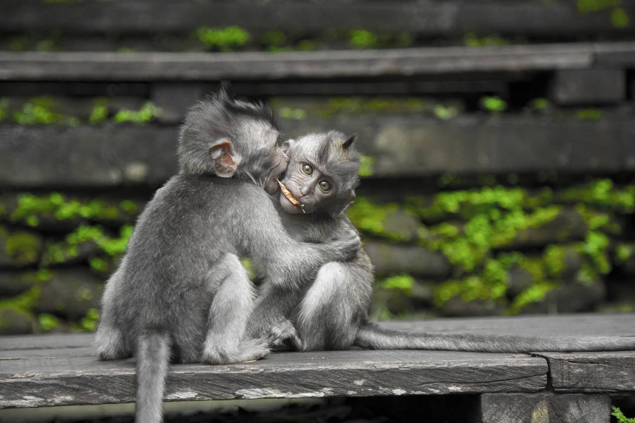 黑椅子上的两只灰色猴子