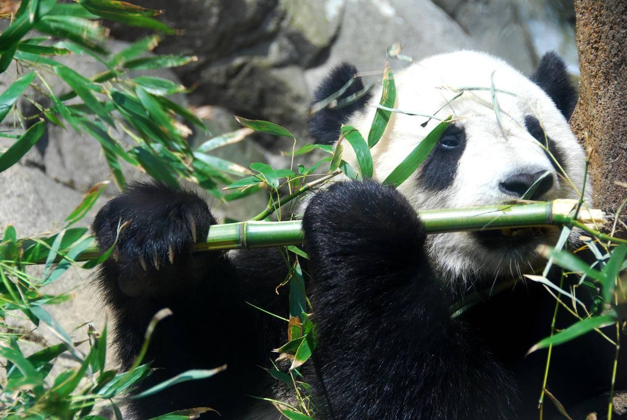 森林,动物,熊猫,竹,大熊猫图片