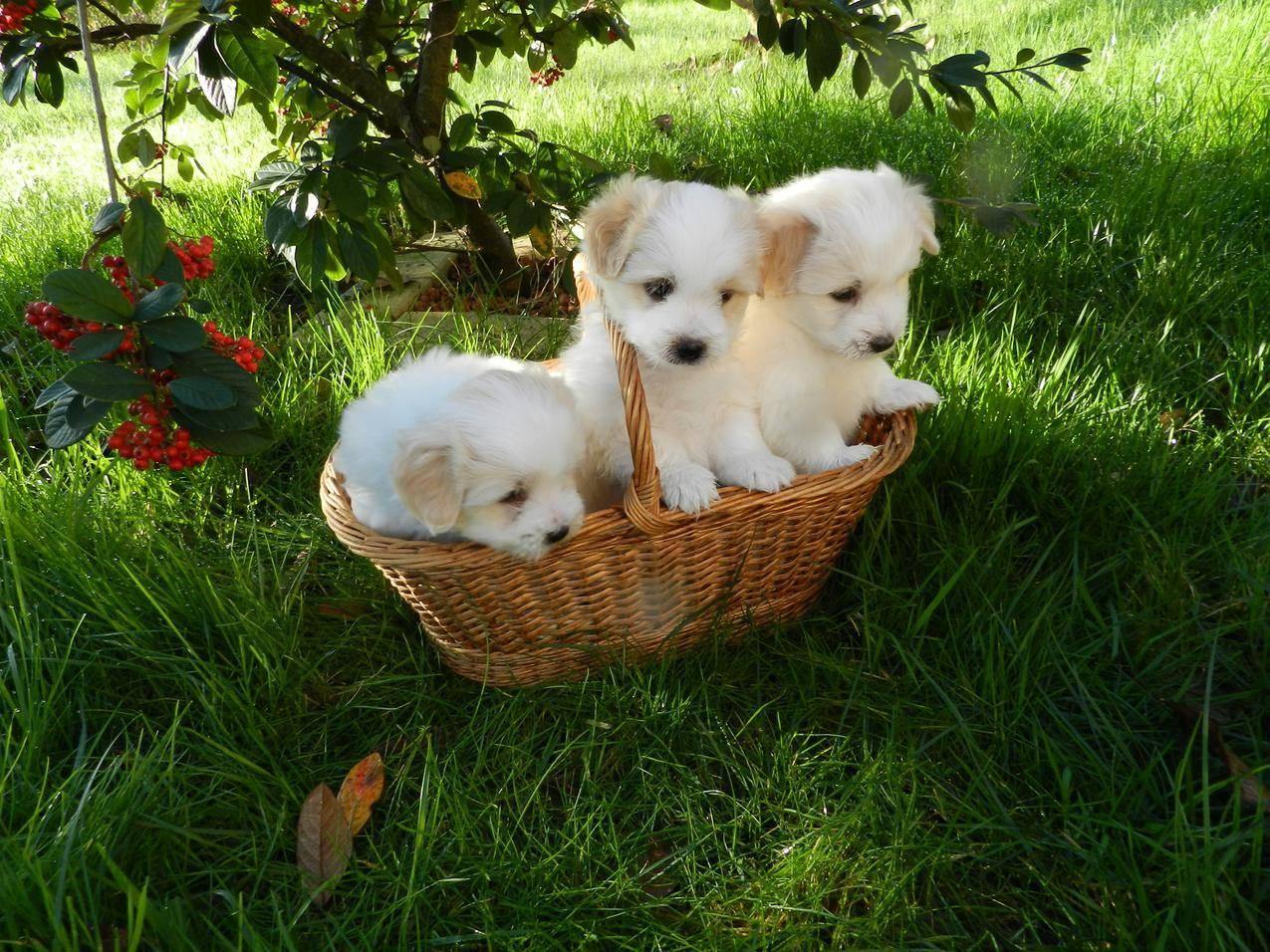 绿草地,篮子,三只可爱小狗4k壁纸