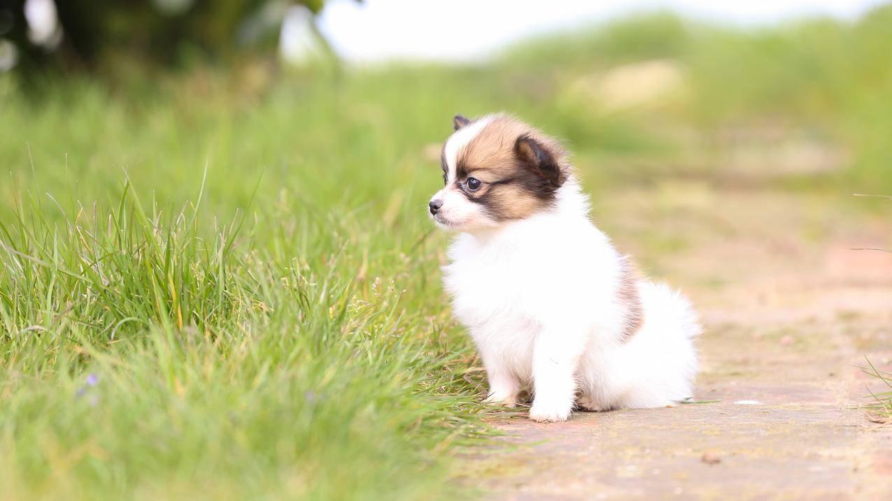 可爱的白色狗4K壁纸
