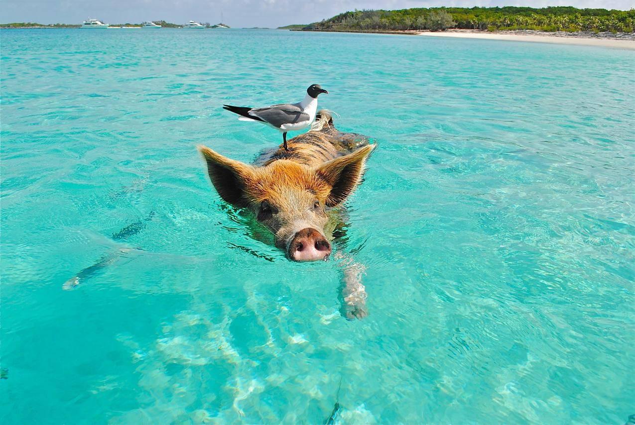 猪,小鸟,海洋,蓝天,嬉戏,可爱图片